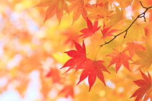 Automne Maple Leafs